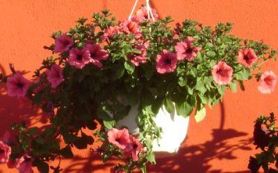 Petunie roz
